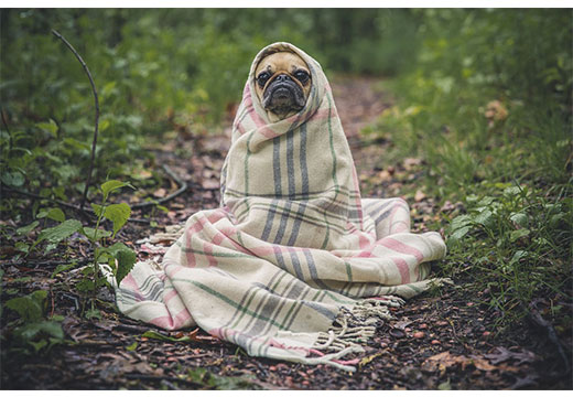 Собака в одеяле
