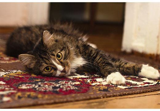Кот на ковру